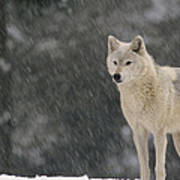 Timber Wolf Female North America Poster