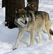 Timber Wolf In A Winter Snow Storm Poster