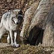 Timber Wolf In Pond Poster