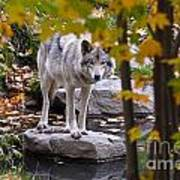 Timber Wolf On Rock Poster