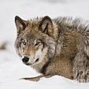 Timber Wolf Pictures 1028 Poster