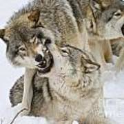 Timber Wolf Pictures 1314 Poster