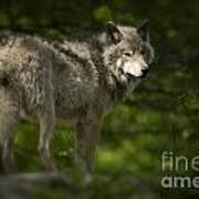 Timber Wolf Pictures 1336 Poster