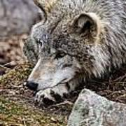 Timber Wolf Pictures 205 Poster