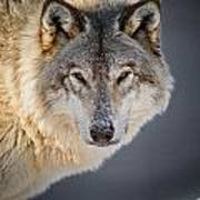 Timber Wolf Pictures 260 Poster