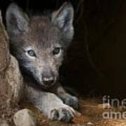 Timber Wolf Pictures 875 Poster