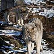 Timber Wolf Pictures 957 Poster by World Wildlife Photography
