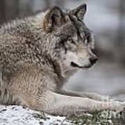 Timber Wolf Portrait Poster
