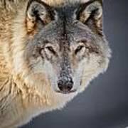 Timber Wolf Seasons Greeting Card 21 Poster