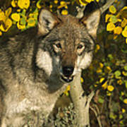Timber Wolf Teton Valley Idaho Poster