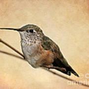 Tiny Hummingbird Resting Poster