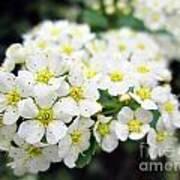 Tiny White Yellow Flowers Poster