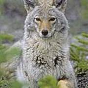 Tk0607, Thomas Kitchin Coyote In Spring Poster