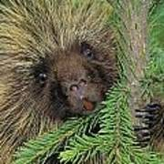 T.kitchin 14107c, Porcupine In Spruce Poster