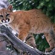 T.kitchin 15274d, Cougar Kitten Poster