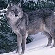 T.kitchin, 19821c Gray Wolf, Winter Poster