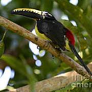 Toco Toucan Amazon Jungle Brazil Poster