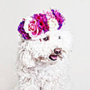 Toffee The Maltipoo Poster