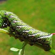 Tomato Horn Worm Caterpillar Poster
