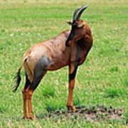 Topi Antelope On The Masai Mara Poster