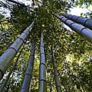 Towering Bamboo Poster