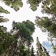 Towering Pine Trees Poster