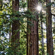 Towering Redwoods Poster