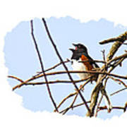 Towhee Singing On Top Of Mountain Poster