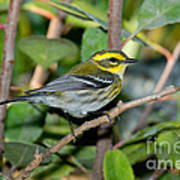 Townsends Warbler In Tree Poster
