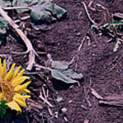 Trampled Sunflower Poster