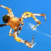 Trapeze Spider Poster by Christina Rollo