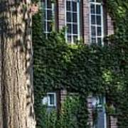 Tree And Ivy Windows Michigan State University Poster