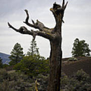 Tree At Lava Trail Poster