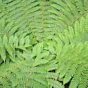 Tree Fern (ponga Poster
