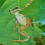 Tree Frog And Mahonia. Poster