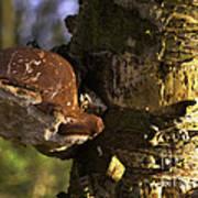 Tree Fungus  Poster