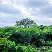Marula Tree In African Sky Poster