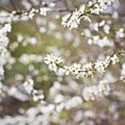 Tree In Blossom Poster