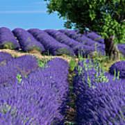 Tree In Lavender Poster