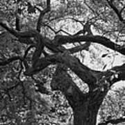 Tree In Prescott Park - Bw Poster