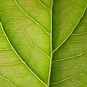 Tree Leaf Poster
