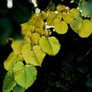 Tree Leaves In Yellow Green Poster