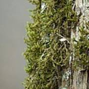 Tree Moss Closeup 2013 Poster