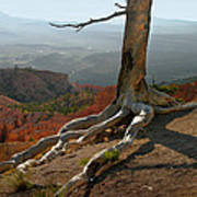 Tree On A Ridge In Bryce Canyon  Poster