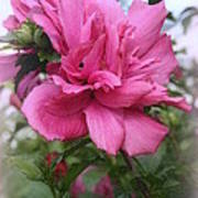 Tree Rose Of Sharon Poster