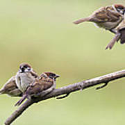Tree Sparrows Poster
