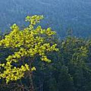 Tree With Yellow Leaves In Acadia National Park Poster