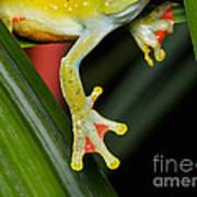 Treefrog Foot Poster