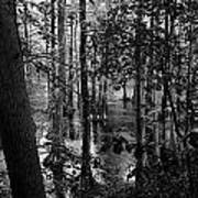 Trees Bw Poster