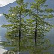 Trees On A Flooding Alpine Lake Poster